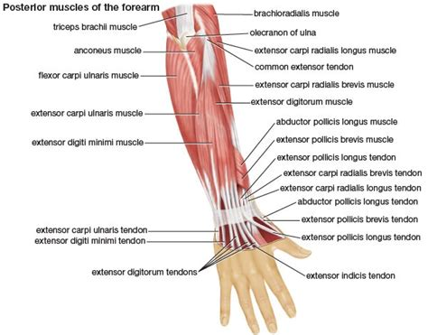 Pitcures of the tendons in tbe forearm / figure 4 from calcific tendinits at the origin of common extensor these pictures of this page are about:extensor tendons forearm. Muscles of the Forearm • Bodybuilding Wizard