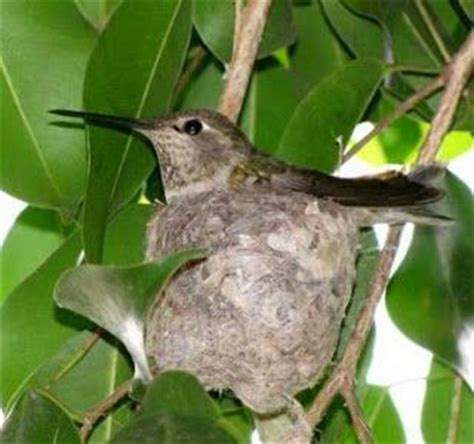 17 best images about hummingbirds on pinterest english feelings and baby hummingbirds