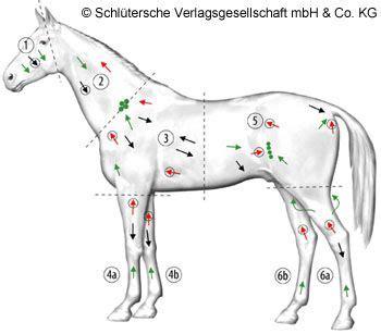 lymphdrainageputzen horse anatomy physio pferde