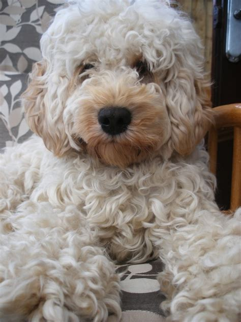 do f2 cockapoos shed cockapoo coat colour gallery