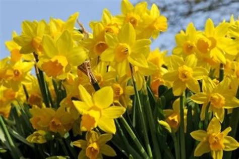 tete a tete narcissus cyclamineus daffodil and narcissus