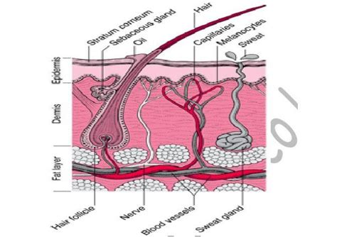 Skin Cell Diagram Label by Draw And Label A Mammalian Skin