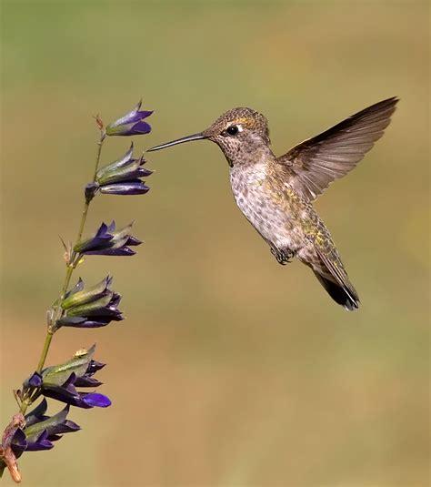 anna s hummingbirds winter in the north birdnote