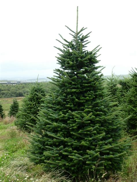 real fraser fir christmas trees freshly cut christmas trees