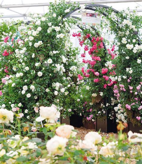 เติมความหวานให้สวนสวยสะพรั่งด้วย ไม้ดอกสีชมพู - บ้านและสวน