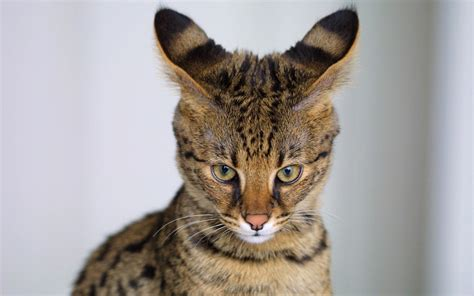 Cute Small Living Room Ideas by Savannah Cat Characteristics Prices And Pictures