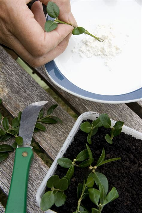 powdered rooting hormone  propagating plants