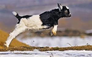 Inside the Wonderful World of Goat Parkour - Modern Farmer