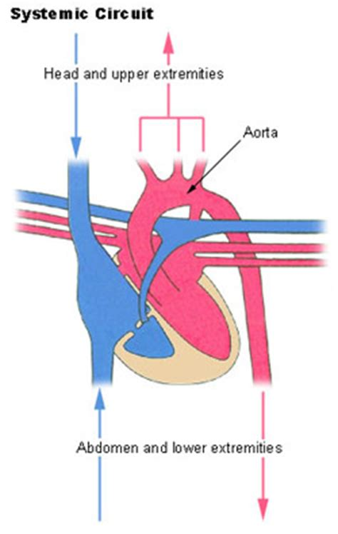 anatomy collegescom circulatory pathways
