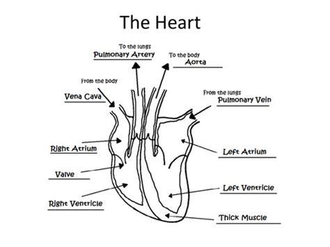 heart diagram worksheet homeschooldressage com