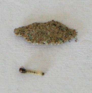pantry moth larvae bearing moth larva found in silverlake los angeles