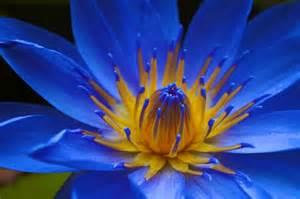 lilies flowers blue water meilen