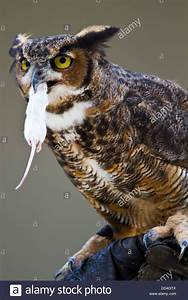 Great Horned Owl, (Bubo virginianus) eating a mouse ...