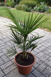 Trachycarpus Fortunei Auspflanzen : tessiner palme trachycarpus fortunei seite 1 winterharte palmen ~ Eleganceandgraceweddings.com Haus und Dekorationen