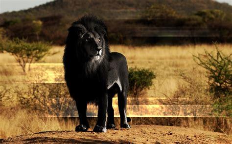 black lion hd wallpaper background image