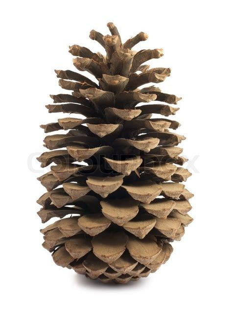 single brown pine cone isolated  white background