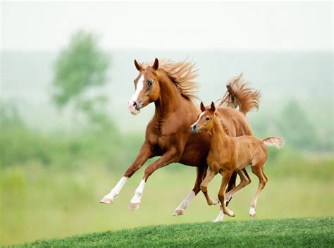 horse spirit animal baby running foal mare foals chestnut animals young summer meadow its istock meaning pic popular