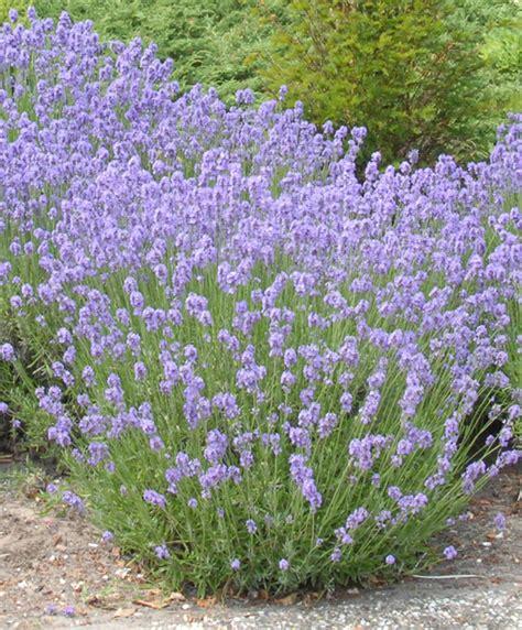 lavandula angustifolia care munstead english lavender lavandula angustifolia munstead