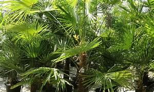 Tropische Pflanzen Kaufen : palmen pflanzen pflanzen kaufen ~ Watch28wear.com Haus und Dekorationen
