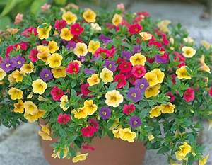 Dendranthema Hybride Balkon : zahradn katalog balkonov rostliny interi rov rostliny ~ Lizthompson.info Haus und Dekorationen