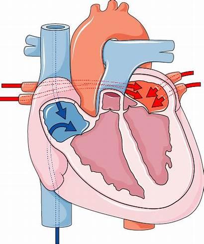 Cardiac Cycle Servier Anatomy Human Medical Smart