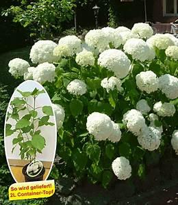 Welche Pflanzen Passen Gut Zu Hortensien : schneeball hortensie 39 annabelle 39 hortensien bei baldur ~ Lizthompson.info Haus und Dekorationen