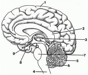 drawn brain unlabelled pencil and in color drawn brain With brain wiring test