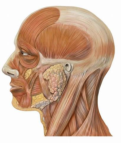 Galea Aponeurotica Anatomy Head Lateral