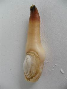 Geoduck Clam Panopea Abrupta  Generosa  Would You Believe That The Geoduck Clam Which Has A