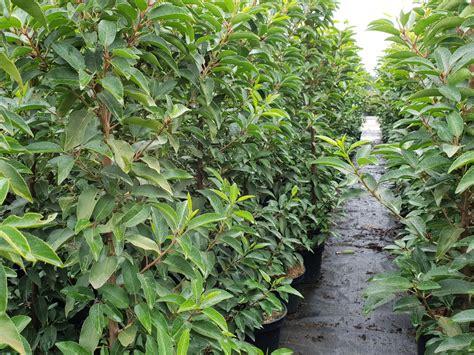 portugiesischer kirschlorbeer kaufen kirschlorbeerhecke prunus lusitanica hier g 252 nstig kaufen