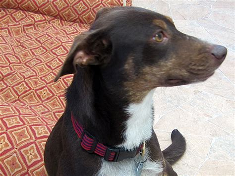 Daisy Australian Shepherd Mini Doberman Lemutte Mix For Adoption At Forget Me Not Animal