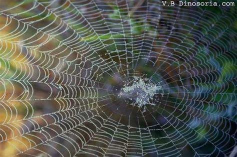 la toile d araignee araignee toile de l araignee en images dinosoria