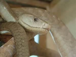 File:Black mamba snake dendroaspis polylepis.jpg ...