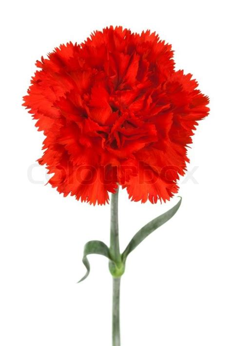beautiful red carnation   white background stock