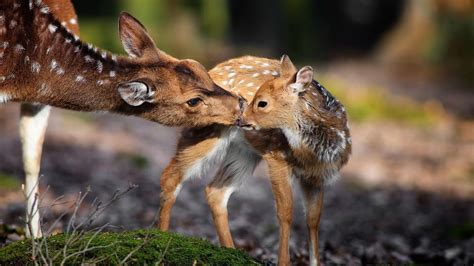 Animal Deer Wallpaper - deer animal wallpapers android apps on play