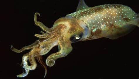squid dangerous animals momme