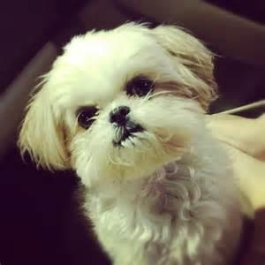 Baby Shih Tzu Puppies