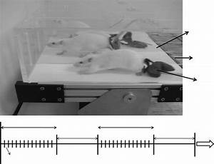 Rats Training On The Treadmill And Details Of The