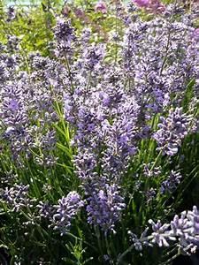 Echter Lavendel Kaufen : lavandula angustifolia 39 silver blue 39 echter lavendel g nstig kaufen ~ Eleganceandgraceweddings.com Haus und Dekorationen