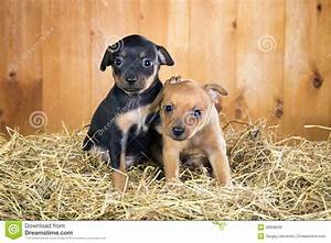 Two Russian Toy Terrier Puppies Stock Photography - Image ...