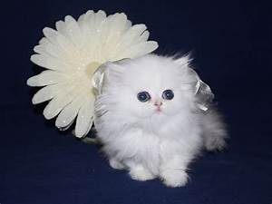 Full Grown Teacup Cats For Sale   www.imgkid.com - The ...