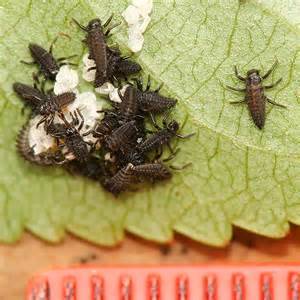 Asian Multicolored Lady Beetle Larvae