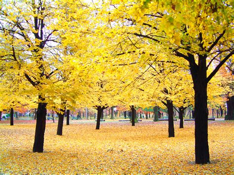 trees that turn yellow in fall yellow in the fall my fave shot so far check out my blog flickr