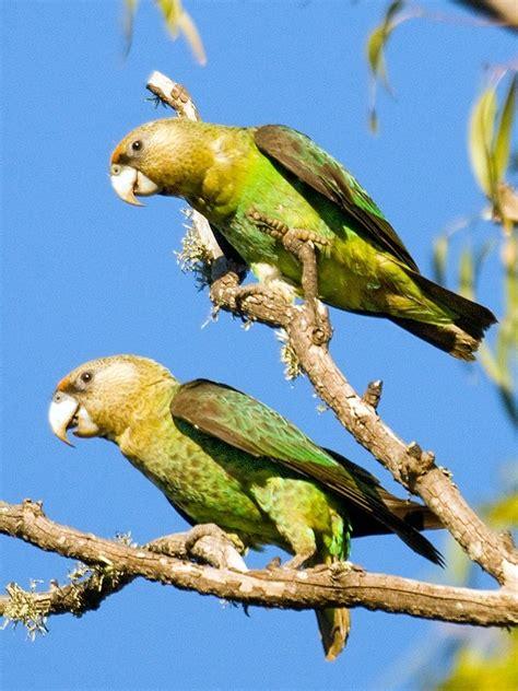 cape parrot parrots poicephalus robustus