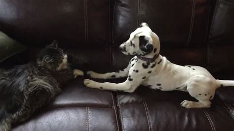 30 days dalmatian puppies for dalmatian puppy desperately attempts to befriend cat