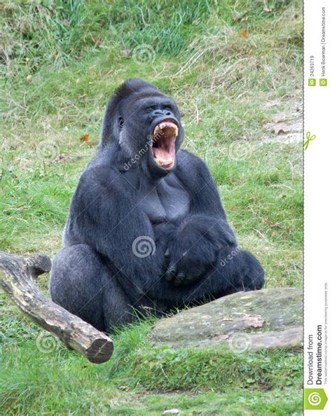 angry gorilla stock image image  congo father tooth