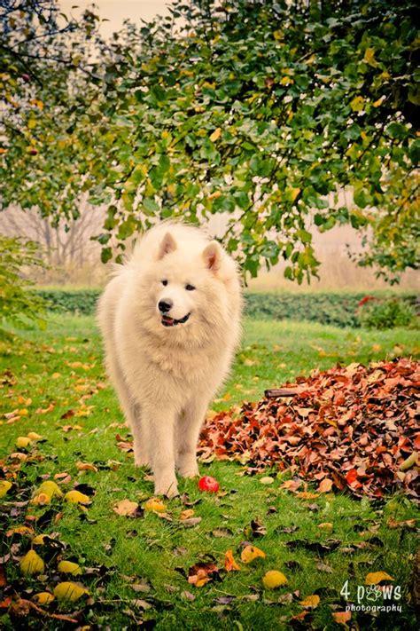 17 Best Images About Samoyeds On Pinterest Diabetic Dog