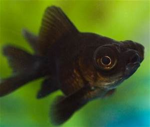 Black Moor Goldfish - Knowledge Base LookSeek.com