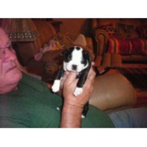 Decork Boston Terrier Breeder In Mesa Arizona