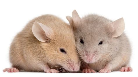 pictures of mice mice feel each other s pain science aaas